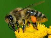 درمان آسم با سم زنبور عسل!