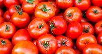 احتمال گرانی گوجه در پاییز