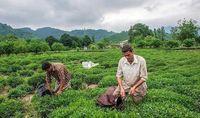 ۳هزار و ۳۰۰تن چای صادر شد