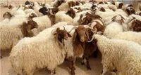 عرضه گوسفند کم نیست؛ دلالان عامل گرانی شدند