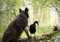 دوستی عجیب سگ با اردک! +تصاویر