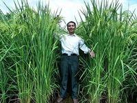 تر و خشک سوزی در کشت دوم برنج
