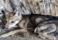 فروشنده توله گرگها در فضای مجازی دستگیر شد