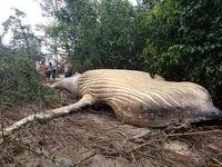 کشف نهنگ ۱۰ تنی در جنگل های آمازون! +تصاویر