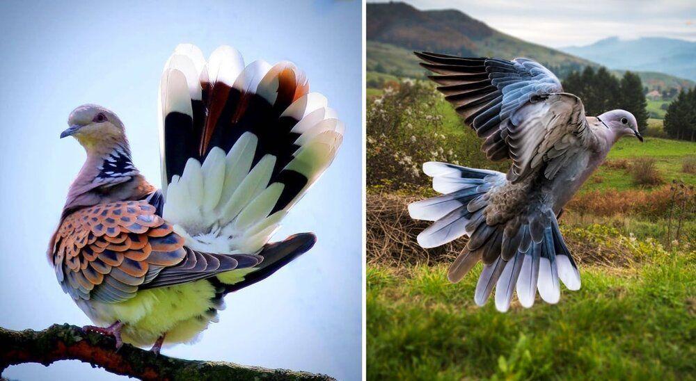 زیباترین کبوتر جهان