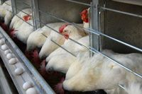بازار گوشت مرغ آرام گرفت