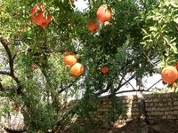 برداشت انار در یزد +عکس