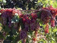 مزیت صادراتی ایران در محصولات باغی