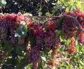 ١١,٦ میلیون تن؛ تولید محصولات باغی