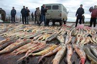 سفره قاچاق به ماهیان خاویاری خزر رسید