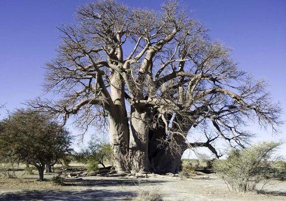 مرگ مرموزِ عجیبترین درختانِ آفریقا +عکس