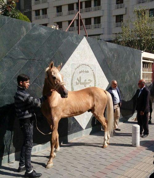 رها کردن اسبها به نشان اعتراض به واردات از آمریکا/ جای خالی تشکل قوی در صنعت پرورش اسب