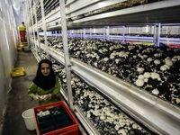 الزام واحدهای تولیدی ملزم به عرضه قارچ فلهای برچسبدار