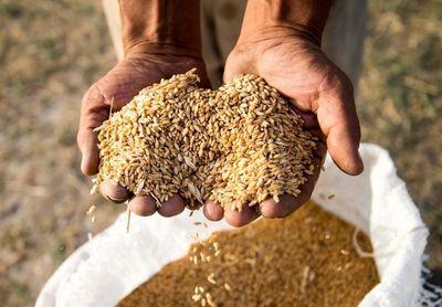 ۴۰درصد افزایش تولید گندم با روشهای نوین کشاورزی